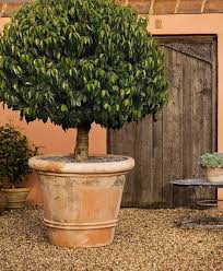 tall terracotta planter. Simple Planter These Large Terracotta Planters Will Take Small Trees Acer Olive Or  Fruit The Classical Pot Is Huge The Largest Planter We Make Intended Tall Terracotta Planter R