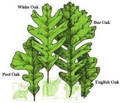 Tree Finder Leaf Identification Part 3 Oak Leaf