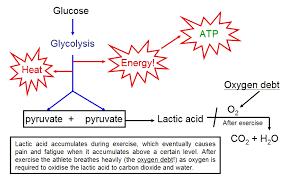 more detailed though still greatly simplified diagrams of the three main chemical pathways involved in aerobic respiration are given below