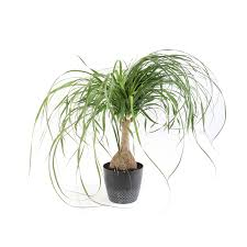 Plants of Steel .9-Quart(S) Ponytail palm Pot (L2967HP)