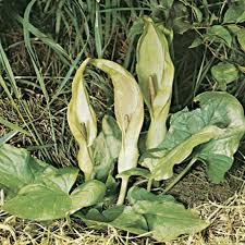 Arum | plant genus | Britannica.com