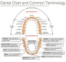Chart Of Tooth Numbers And Dental Terms Archives Tribeca
