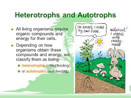 Photosynthesis Harnessing Energy Heterotrophs And Autotrophs All