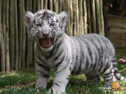 cute baby tigers wallpapers. Brilliant Wallpapers Tiger Wallpapers Free Download White Cute Cub Animal HD Desktop Images  16001000 Baby Pictures 53 Wallpapers  Adorable In Tigers P