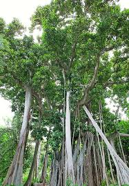 Lord howe island is a community of travel enthusiasts, residents, visitors (past and present) and fa. Ficus Macrophylla F Columnaris Monaco Nature Encyclopedia