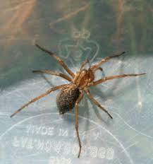 Hobo Spider Wikipedia