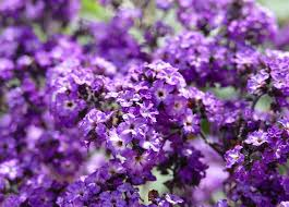 if you enjoy having heavily scented flowers in your garden then the heliotrope is for you with a very strong scent these tiny cers of flowers are