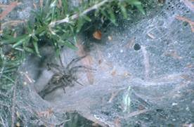 Recluse Site Spiders Brown Id Ucr 5vtq4q