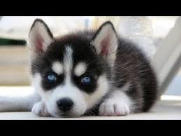 really cute baby husky puppies with blue eyes. Contemporary Blue Precious Husky Puppies U2013 Cutest Baby Dogs Doing Adorable Things  Compilation 2017 Intended Really Cute With Blue Eyes E