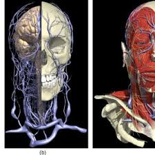 arteries of the face fig 1 generic map of superficial blood vessels on the face