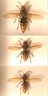 Wasp Identification Chart European Hornet Wikipedia
