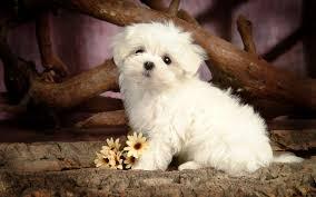 cute dog wallpaper hd. Beautiful Wallpaper HD Animal Wallpaper With A Cute Little Maltese Dog Posing For The Camera Inside Cute Dog Wallpaper Hd