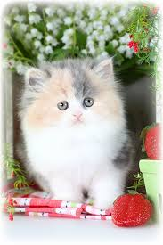 dilute calico kittens for sale. Beautiful Sale Dilute Calico Persian Kittens To For Sale P