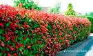 Растения для живая изгородь на даче