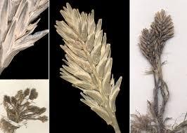 Sclerochloa dura (L.) P.Beauv. - Sistema informativo sulla flora ...