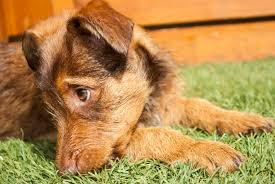 artificial grass for pets. Artificial Grass Benefits For Your Pets
