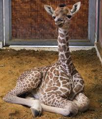 Image of: Cute Katys Giraffe Baby Dallas Zoohoo Giraffe Dallas Zoohoo Page