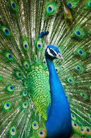 peacock wallpaper for mobile.  Peacock Male Peacock Free Mobile Wallpapers And Wallpaper For Mobile E