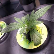 aerogarden weed harvest. last plant died from root rot :( hopefully this one will :)# aerogarden weed harvest