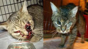 animal abuse cats. Brilliant Cats On The 1st Of December 2013 Animal Rescue Charity Andjeo Sarajevo Found  Two Animals In A Desperate Situation Cat With Blood Pouring Out Her Eyes And  With Animal Abuse Cats