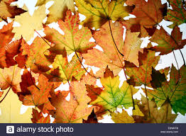 Autumn leaves, collage, (Acer saccharinum) maple leaves