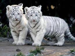 baby white tigers wallpaper. Wonderful Wallpaper Baby White Tigers Wallpapers  2013 Inside Wallpaper Cave
