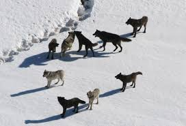 Wolf Species Size Chart Wolf Facts Gray Wolves Timber Wolves Red Wolves Live
