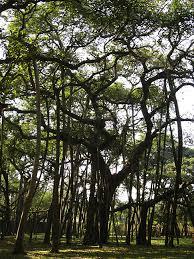 great banyan tree indian botanic gardens kolkata