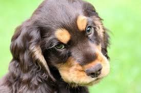 De 12 populæreste hunderacer i Danmark i 2012   jv.dk
