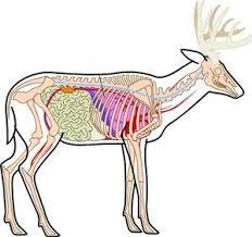Deer Anatomy Pic Hunting Tips Archery Hunting Hog Hunting