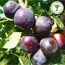 Czar Plum Tree   Buy Plum Tree   Purchase Plum Fruit Trees