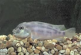Dogtooth Lake Depth Chart Lake Victoria Cichlid Facts East West African And Dwarf