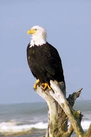 Image result for eagle