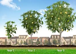 Hass Avocado Trees For Sale  Fast Growing TreesHybrid Fruit Trees For Sale