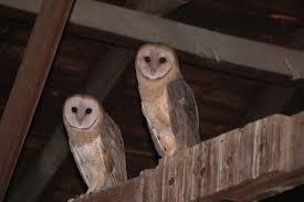 Image result for barn owls nesting