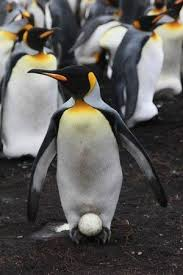 emperor penguin egg. Delighful Penguin Emperor Penguin Egg  King With Egg  Picture Of Adventure  Falklands Stanley  Intended A