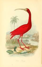 Gravures Couleur D Oiseaux Gravures Couleur Oiseaux 470 Ibis