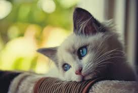 bored kitten. a stressed cat will either withdraw and become quiet, whereas others act out their anxieties. bored kitten t