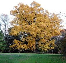 Image result for tulip poplar