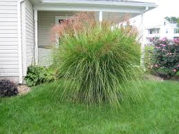 Tall Decorative Grass Too Late To Split Grass Is Already Growing
