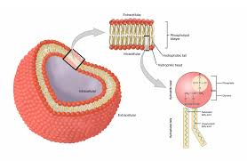 the cell membrane anatomy physiology