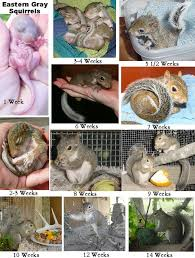 Grey Squirrel Age Chart Care For Baby Squirrels Eastern Gray Fox The Arc