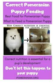 Pomeranian Puppy Feeding Chart Correct Pomeranian Puppy Feeding