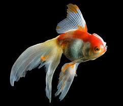 goldfish wallpaper desktop. Unique Goldfish Goldfish For Wallpaper Desktop L