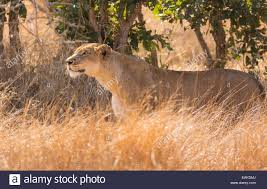 lioness stalking in grass. Fine Lioness KRUGER NATIONAL PARK SOUTH AFRICA  Lioness Stalking Prey In Tall Grass  During Hunt Inside Stalking In Grass S