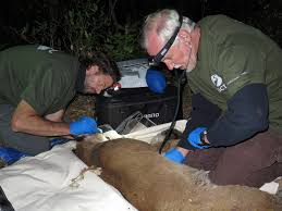 Research team fits mountain lion with GPS collar | Audubon Canyon Ranch