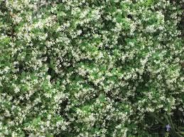 34 Best Vines For Zone 7 Arbor Images On Pinterest  Climbing Climbing Plants Texas