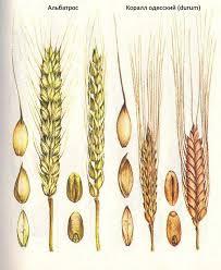 Селекция короткостебельных сортов озимой пшеницы ru  Ольвия Короткостебельные сорта озимой пшеницы Альбатрос Коралл одесский durum