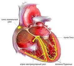 Реферат Создание биологического водителя ритма сердца  Создание биологического водителя ритма сердца