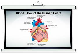 Human Blood Flow Chart Chart Showing Blood Flow In Human Heart Vector Free Download